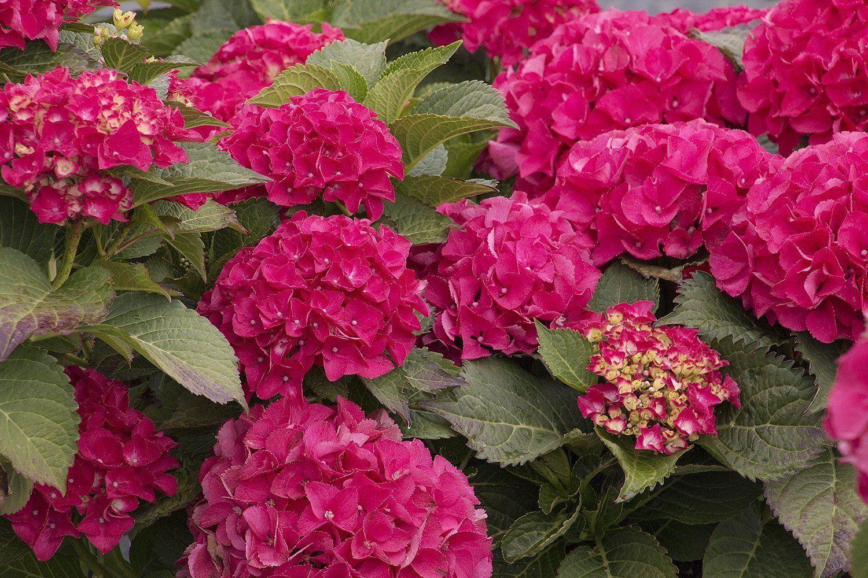 Гортензия крупноцветковая сорта