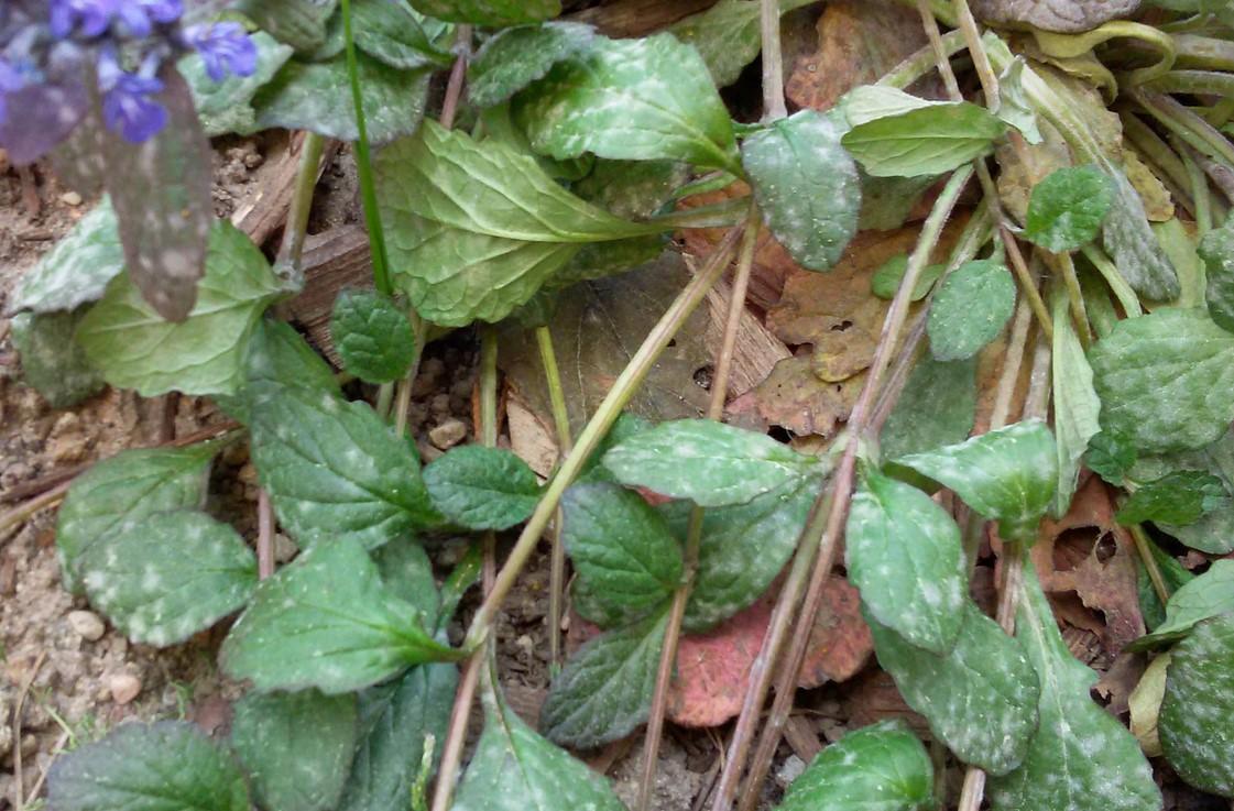 Как посадить мяту и ухаживать за ней в открытом грунте