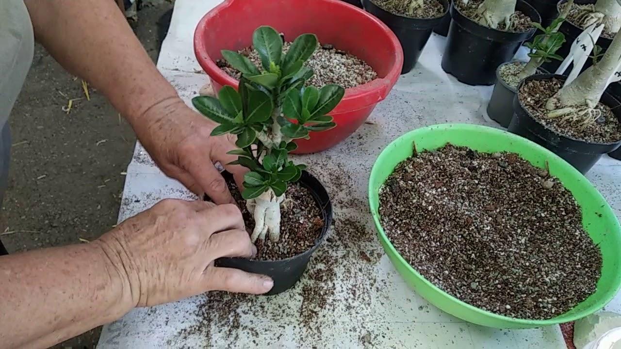 Как садить семена адениума