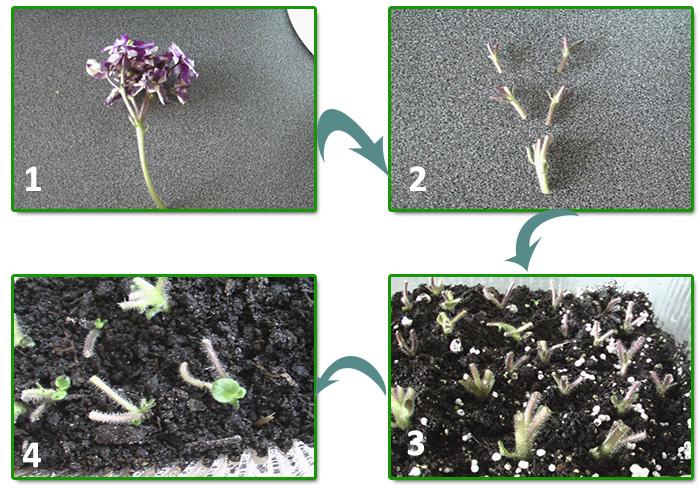 Как размножить фиалку листьями