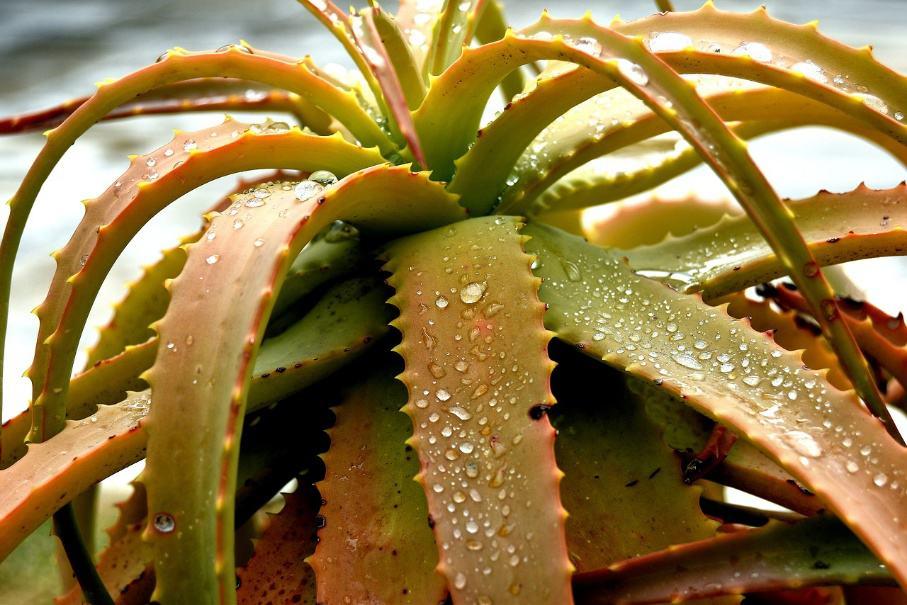 Столетник (41 фото): как выглядит цветок? Как размножить алоэ древовидное в домашних условиях? Рекомендации по уходу за растением