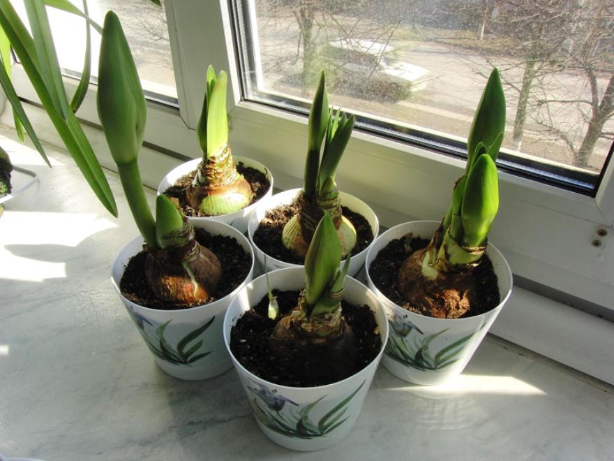 Комнатный цветок амариллис: описание и фото, что делать, если он не цветет в домашних условиях