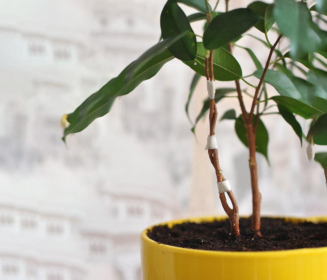 Как размножить фикус Бенджамина в домашних условиях: эффективные способы