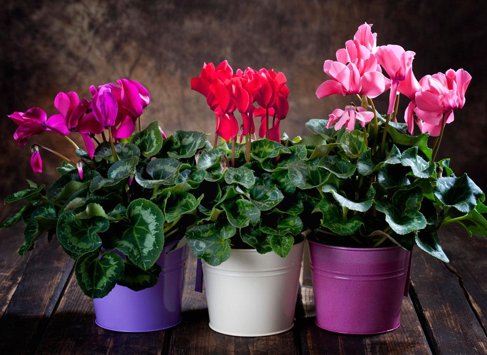 Цикламен уход после цветения в домашних условиях