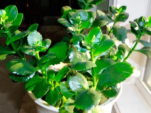 Почему каланхоэ не цветут дома и вытягиваются: что делать, как заставить зацвести