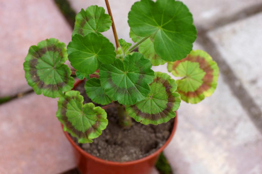 Почему у герани краснеют листья — причины и лечение