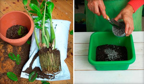 Почему не растет замиокулькас в домашних условиях: помощь начинающим цветоводам