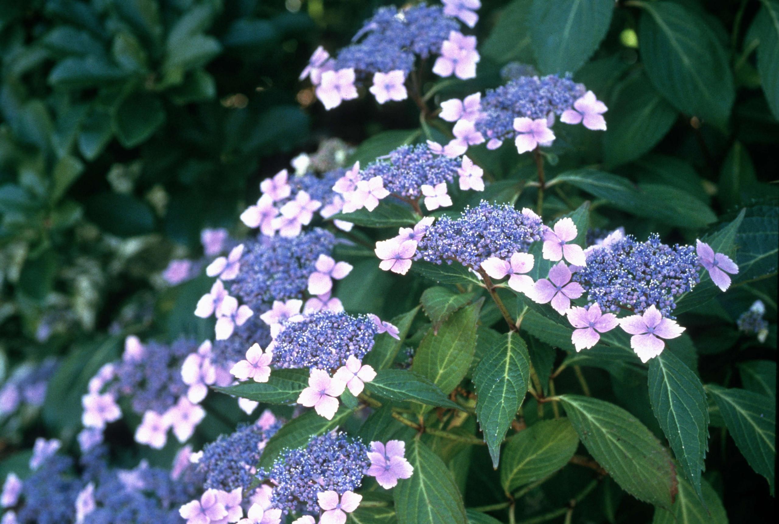 Гортензия пильчатая — выращивание, посадка и уход