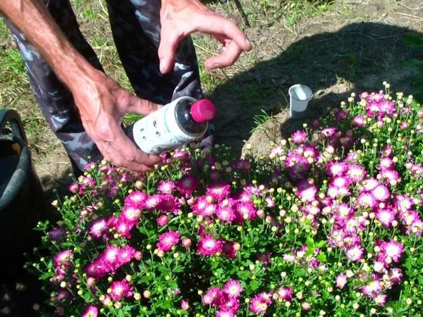 Хризантемы многолетние морозостойкие