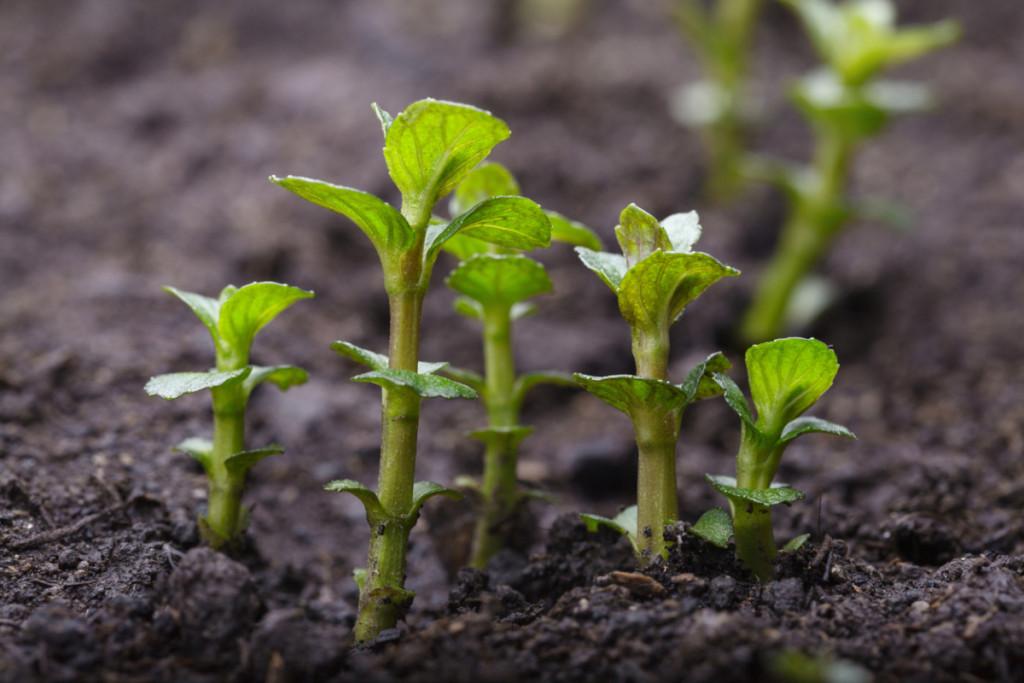 Мохито растение уход в домашних условиях
