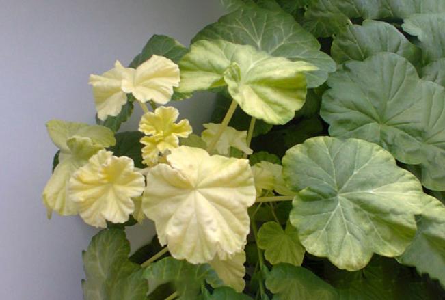 Почему бледнеют листья у комнатных растений