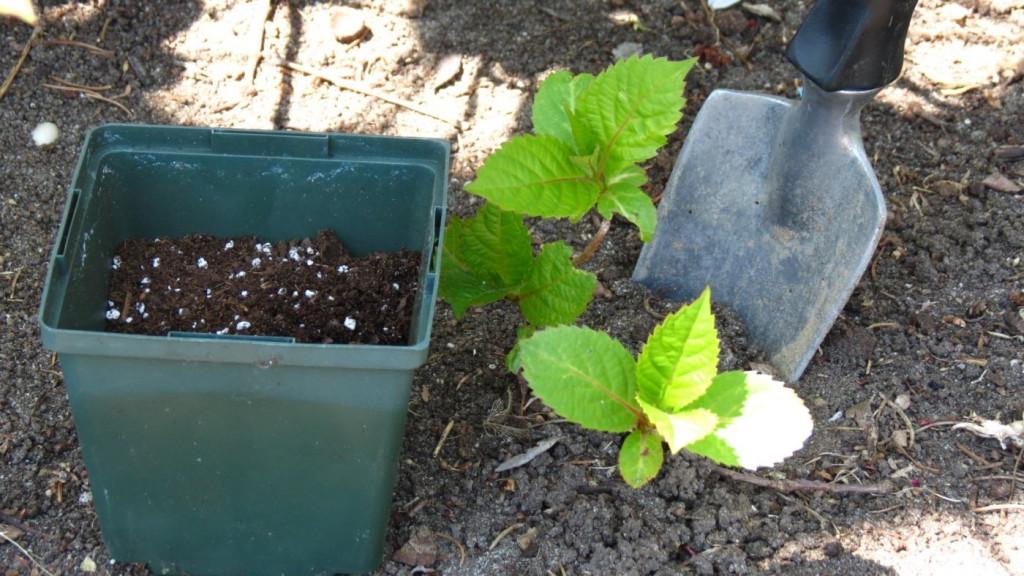 как посадить лунарию семенами на рассаду