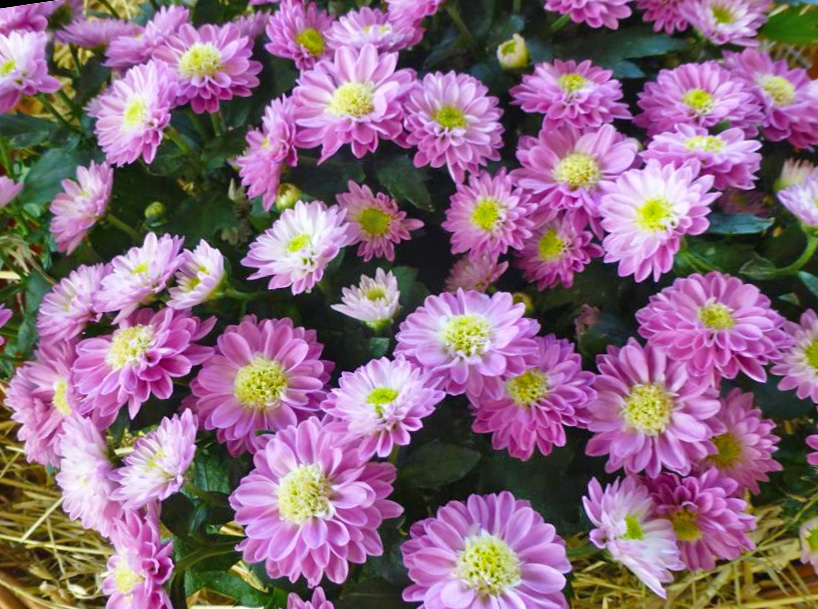 Посадка хризантем кустовых в саду: правильный уход за цветами, низкорослые сорта