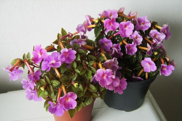Ахименес уход в домашних условиях, выращивание, описание, размножение