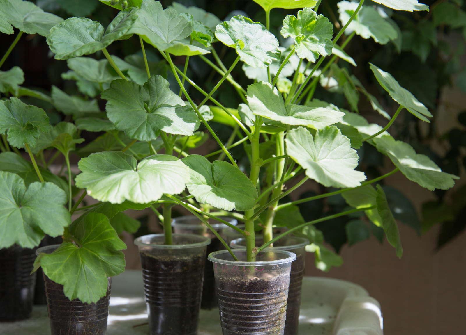 размножается сирень семенами и вегетативно