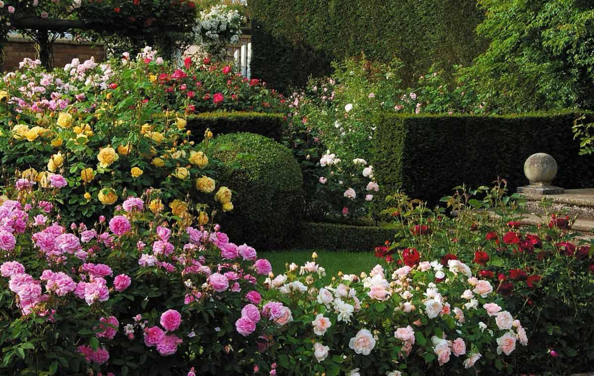 Сорта роз цветущих всё лето, фото и советы