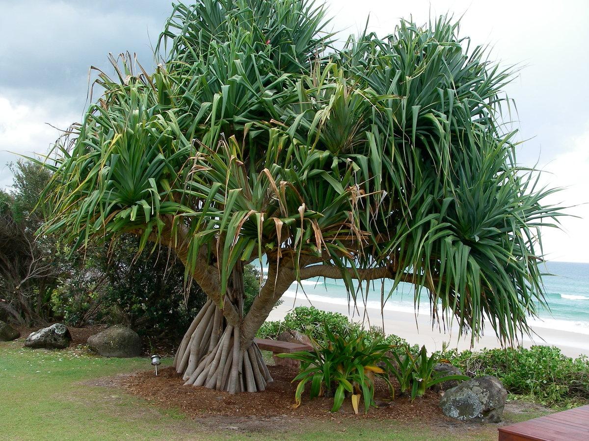 Цветок Панданус — что за комнатное растение?