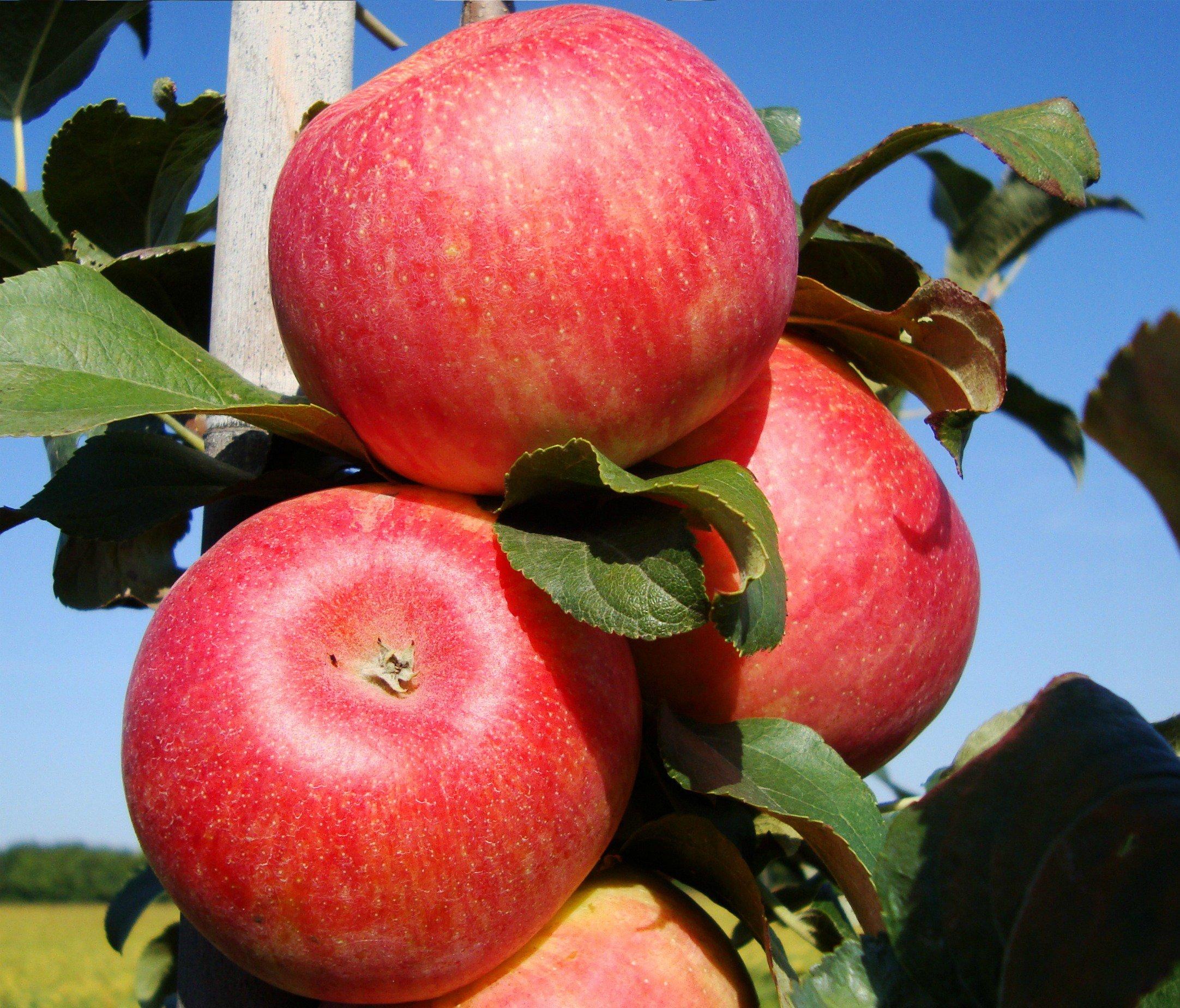 потолка кухне сорт яблони ломоносовское фото и описание сорта программу